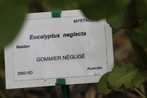 eucalyptus neglecta marnay 21 sept 2013 061 (5).jpg