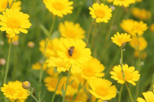 glebionis segetum 5 paris 23 juin 2012 431.jpg