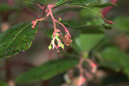 14 arbutus andrachnoides veneux 29 janv 2017 017.jpg