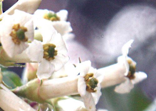 escallonia il fleur fl paris 30 oct 2010 p 011.jpg