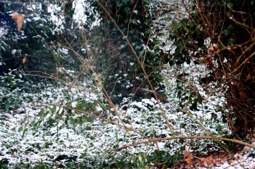 neige epimedium 20 février 005.jpg