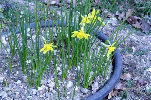 narcissus odorus paris 23 mars 075.jpg