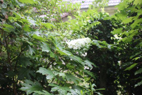 3 a hydrangea quercifolia veneux 28 juin 2014 001 (1).jpg