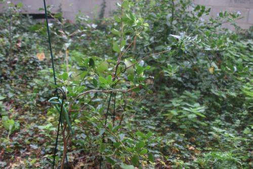 1 arbutus andrachnoides veneux 5 oct 2015 001 (3).jpg