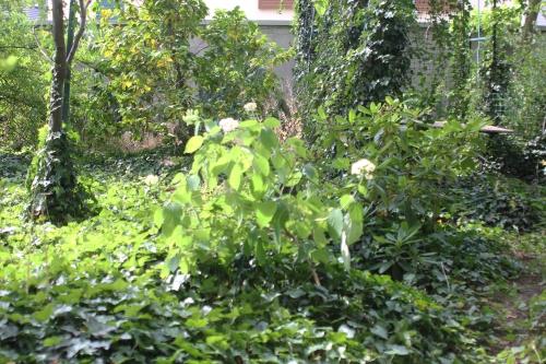 10 hydrangea radiata veneux 29 juin 2018 008.jpg