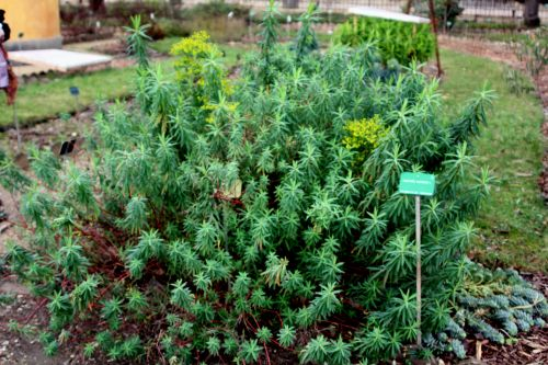 euphorbia ceratocarpa paris 21 janv 2012 143.jpg
