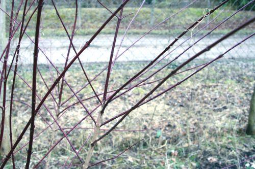 cornus sang romi 22 février 005.jpg