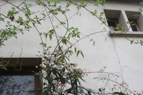 5 clematis apple blossom veneux 24 mars 2017 001 (8).jpg