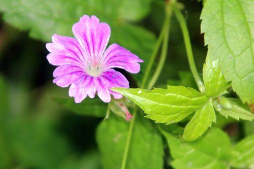b geranium nodosum romi 9 juin 2012 106.jpg