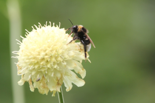 6 cephalaria romi 3 juil  2012 018 (2).jpg