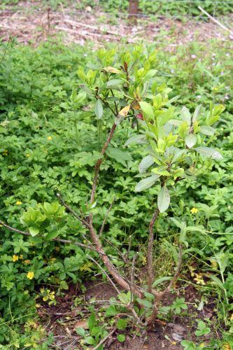 arbutus romi 15 juin 2010 007.jpg