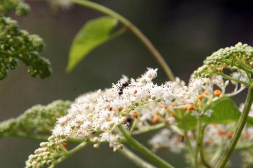 chinensis fourmi romi 9 août 083.jpg