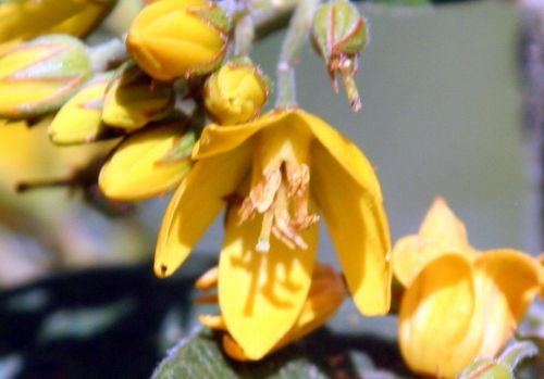 d lysimachia vulgaris fl romi 5 juil 2010 009.jpg