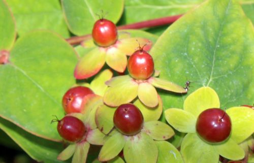 11 hypericum androsaemum fruits marnay 12 juin 2014 052 (2).jpg