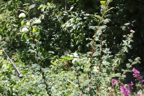 7 rosa pteracantha romi 2 août 2015 029 (3).jpg