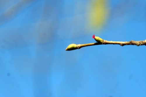 corylus col fl femelle paris 16 jan 348.jpg