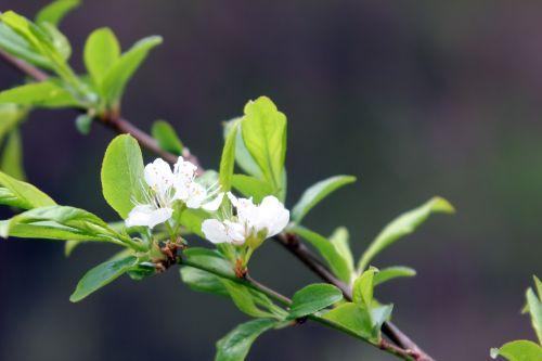 prunus salicina romi 20 avril 2013 113.jpg