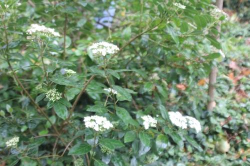 3 viburnum tinus veneux 21 oct 2017 003 (1).jpg