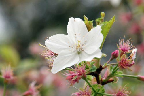 prunus yedoensis gb 9 avril 2012 029 (3).jpg