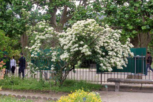 1 viburnum betulifolium paris 23 juin 2012 367.jpg