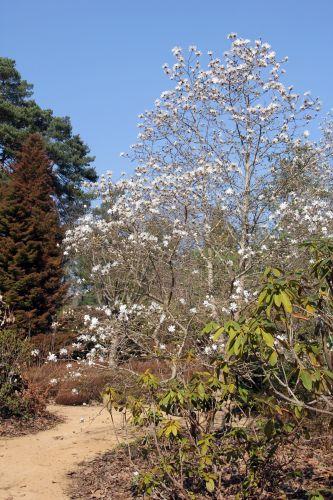 1 magnolia ballerina gb 25 mars 2012 052.jpg