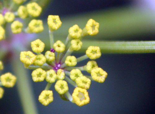 2 pastinaca sativa fleurs romi 27 juil 004.jpg