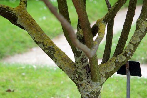 clerodendrum trichotomum paris 21 juil 2012 060 (7).jpg