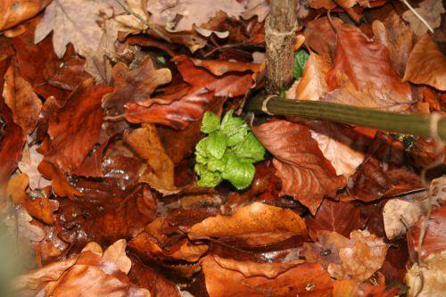 chinensis veneux 11 déc 2010 018.jpg