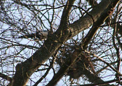 pies nid près p veneux 15 mars 020.jpg