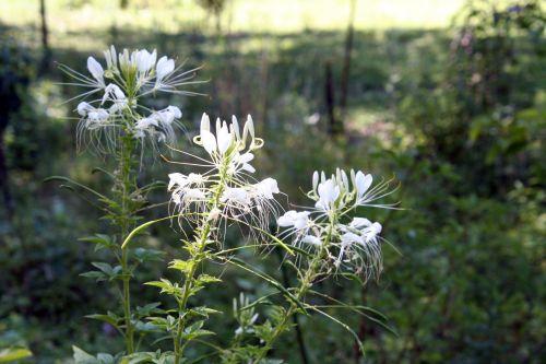cléome 3 fleurs 18 juil 2010 063.jpg