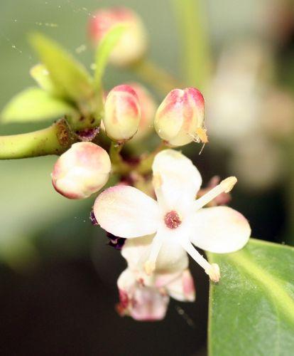 houx fleur mâle 3 mai 001.jpg