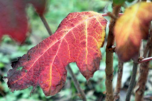 7 hydrangea quercifolia paris 24 déc 2012 077 (5).jpg