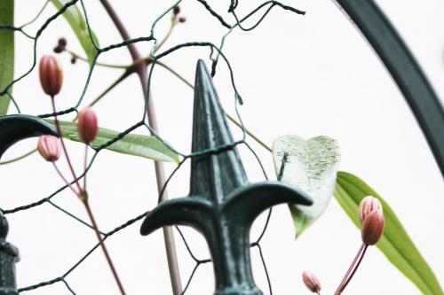 5 clematis apple blossom veneux 5 fev 2016 013 (3).jpg