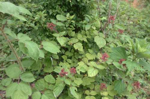 7 rubus phoenicolasius romi 20 juin 2015 037.jpg