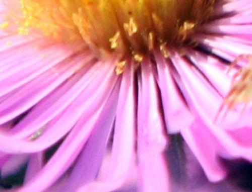 aster fl fem romi 23 sept 2010 041.jpg