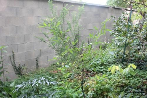 zanthoxylum subtrifoliatum 26 août 2017 003.jpg