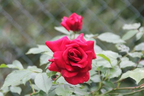 11 red parfum romi 29 mai 2015 020.jpg