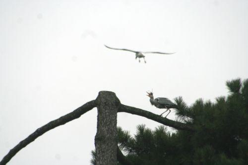 héron oiseau vole paris 9 fev 169.jpg