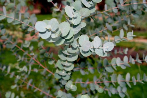 eucalyptus paris 1 dec 073.jpg