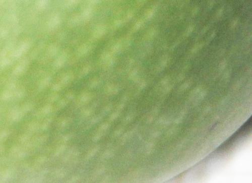 10 actinidia melanandra veneux 5 oct 2015 006 (2).jpg