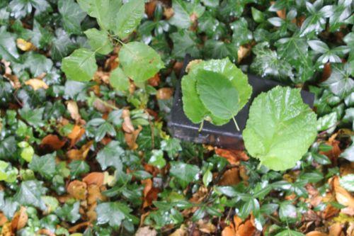 noisetier 2 arborescens radiata 1 nov 2012 005.jpg
