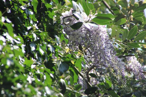 wisteria romi 20 avril 2014 013 (2).jpg