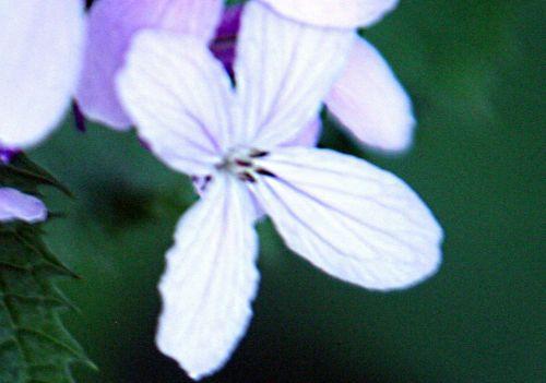 lunaria red fl pp veneux 16 mai 013.jpg
