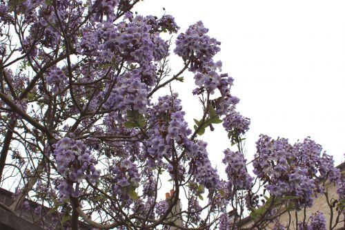 3 paulownia veneux 18 mai 2013 006 (2).jpg