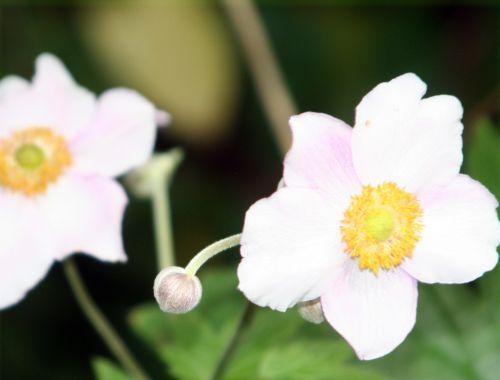 anemone sens 29 juil 137.jpg