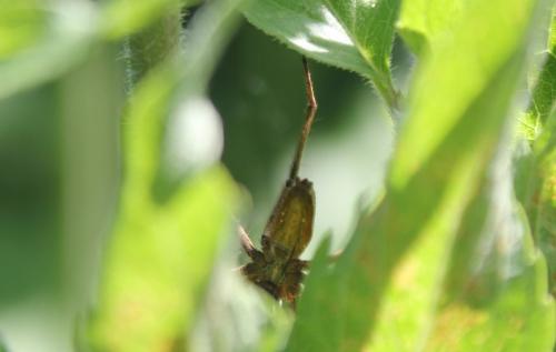 8 linyphiidae romi 28 juin 2015 049.jpg