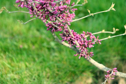 cercis yunnanensis 3 paris 6 avril 041.jpg