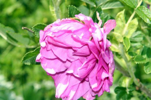 rosier rose romi 21 mai 004.jpg