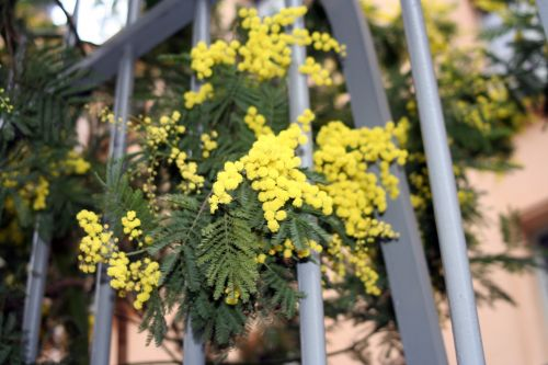 acacia dea branche 30 janv 029.jpg