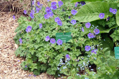 geranium himalayense paris 27 avril 137.jpg